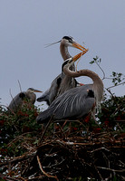 ©Ridenour_Herons making a nest_8761