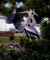 ©Ridenour_Two Herons with chicks_2664