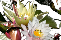 Water lily montage-1