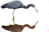 ©Ridenour_Little Blue Heron_1277.a