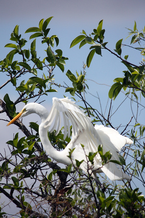 ©Ridenour_Egret in Tree_4435