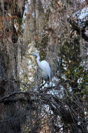 ©Ridenour_1216_Great Egret