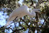 ©Ridenour.Egret in tree.Venice Rookery_1239