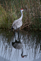 ©Ridenour_Crane in Pond.poster_3132